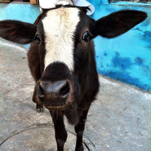 Let's get #cowfaced. #devaprayag #india #engagesurrendertransform